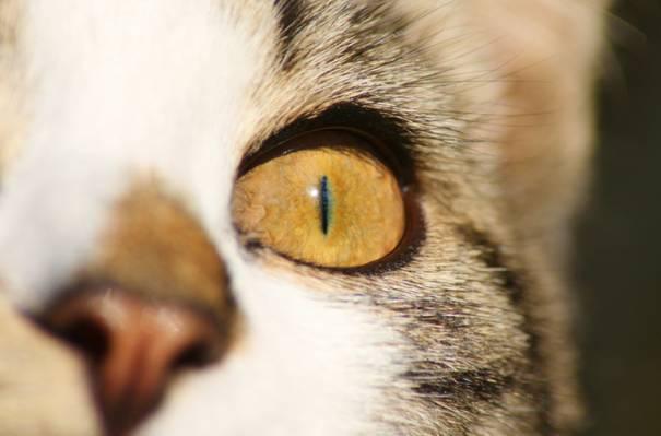 猫的左眼高清壁纸的特写照片