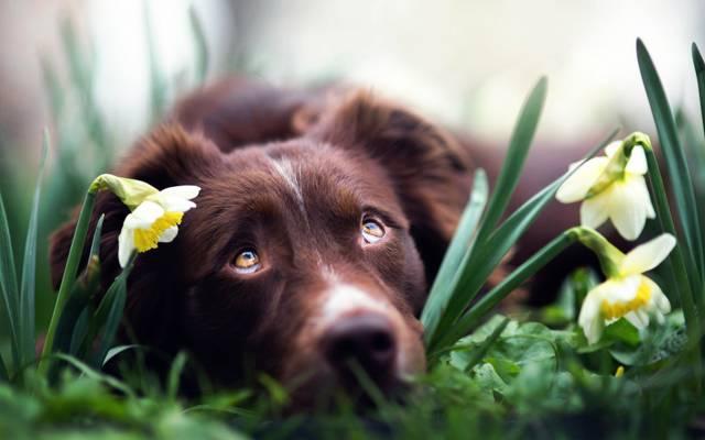 水仙,狗,春天的梦想,鲜花