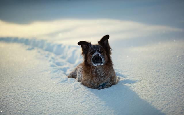 狗,雪,冬天
