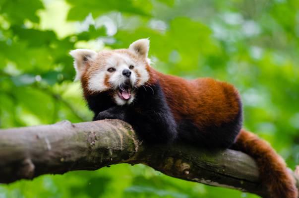 棕色和白色的照片垃圾熊猫高清壁纸