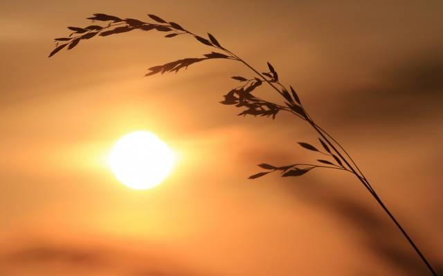 里德,太阳,剪影,一片草叶,小穗
