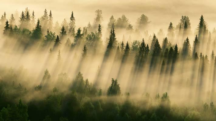 壁纸雾,早上,森林