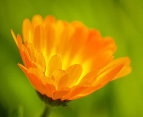 微观摄影的黄色罂粟花高清壁纸