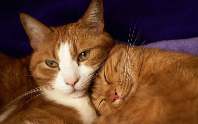 对,谎言,红色,睡眠,猫