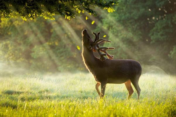树,黎明,绿色夏雨,鹿,树叶