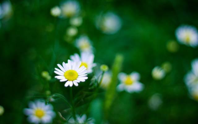 小清新白色雏菊唯美桌面壁纸