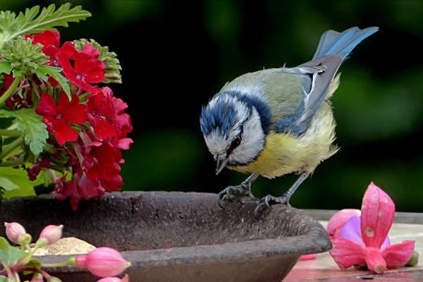 分支和黄色的短喙鸟选择性的蓝色上的树,蓝山雀高清照片的暴龙口袋妖怪心金超甲壁纸图片
