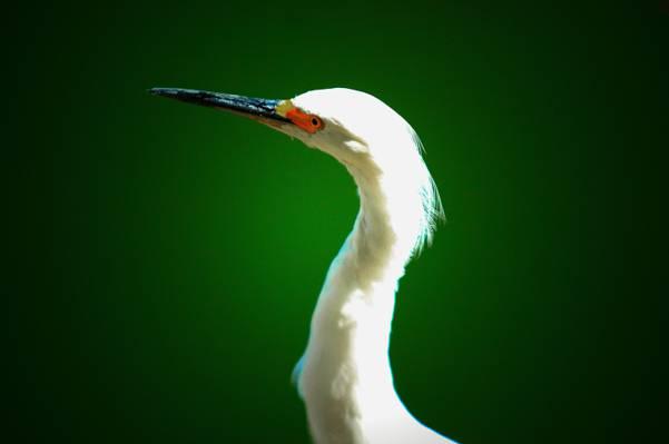 苍鹭,喙,脖子,眼睛