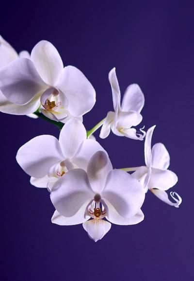 美丽的花朵蝴蝶兰