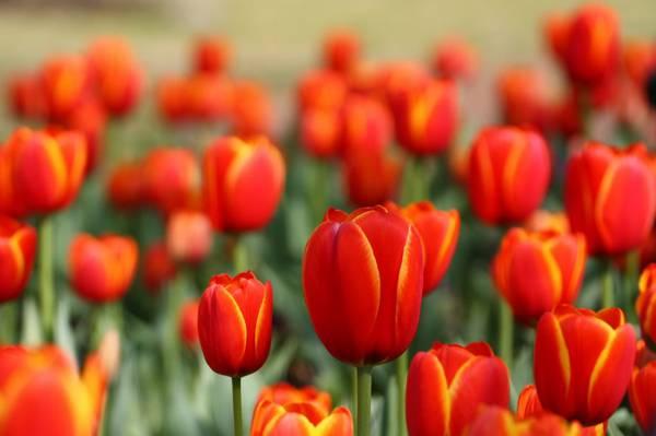 红色郁金香恶魔特写照片在白天高清壁纸