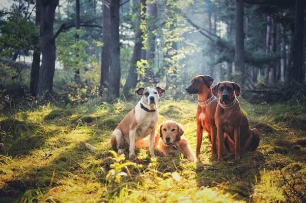 金毛猎犬,公司,四方,狗,朋友,罗得西亚脊背,森林