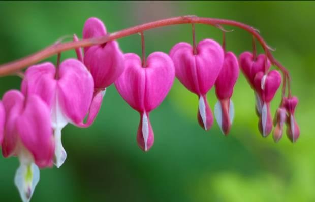 粉红色和白色流血的心花关闭了摄影高清壁纸