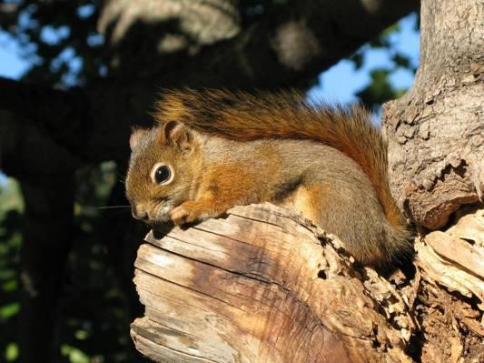 棕色的松鼠,红松鼠高清壁纸