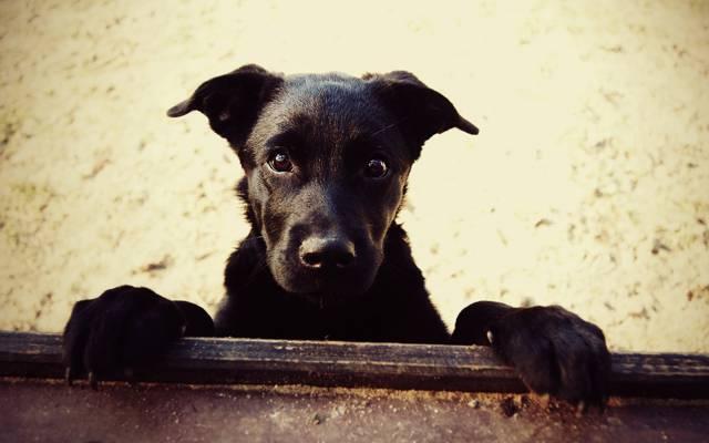 狗,看,眼睛,看,黑色,脸,狗