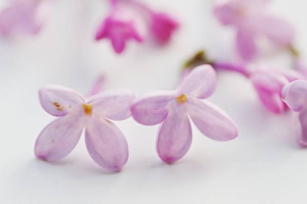 关闭了粉红色和白色摄影的鲜花高清壁纸