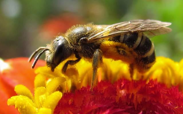 蜜蜂在白色,百日草高清壁纸上的红色玫瑰花瓣上的密切照片