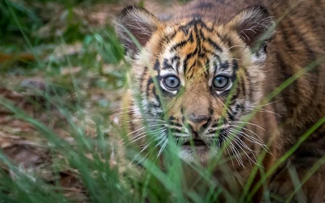 老虎,看,虎,宝贝,苏门答腊,猎人,枪口,幼仔,草