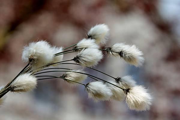 白色棉花花卉特写摄影高清壁纸