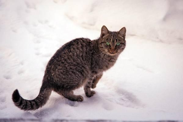 猫,雪,性质,冬季,条纹,绿色,眼睛,猫