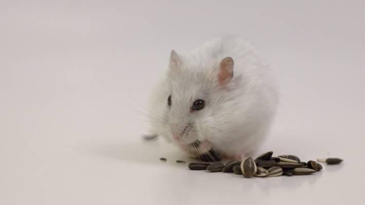 白老鼠吃种子高清壁纸