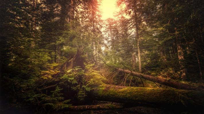 壁纸瑞士,灌木,治疗,树木,灌木丛,森林