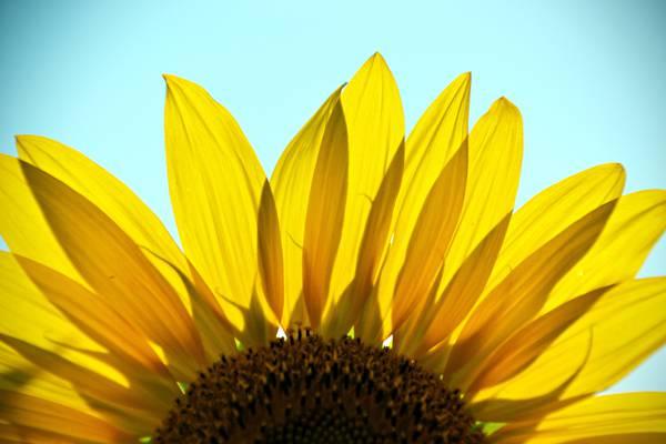 向日葵高清壁纸
