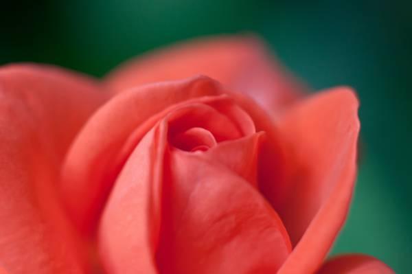 微距摄影的红玫瑰高清壁纸