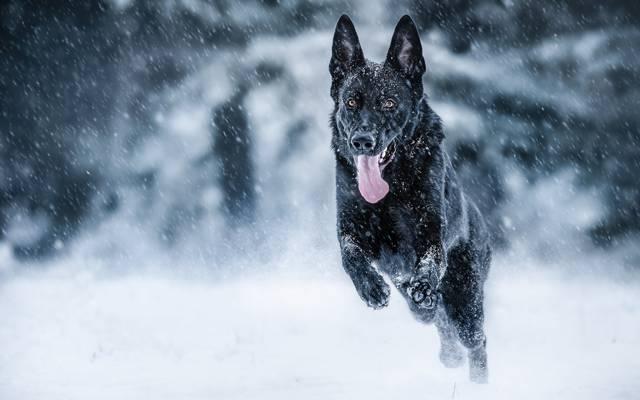 语言,德国牧羊犬,冬天,雪,心情,奔跑,狗