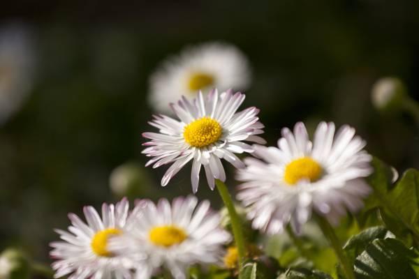 宏观摄影白色雏菊花在白天,雏菊高清壁纸