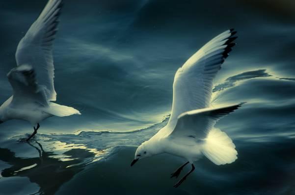 两个白色的海鸥在蓝色的天空背景下高清壁纸飞行