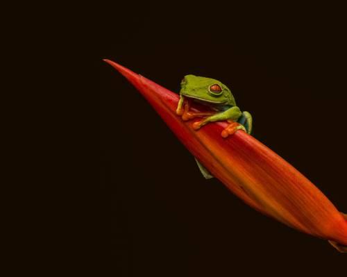 红眼绿色的树蛙上红色的植物,红眼树蛙高清壁纸