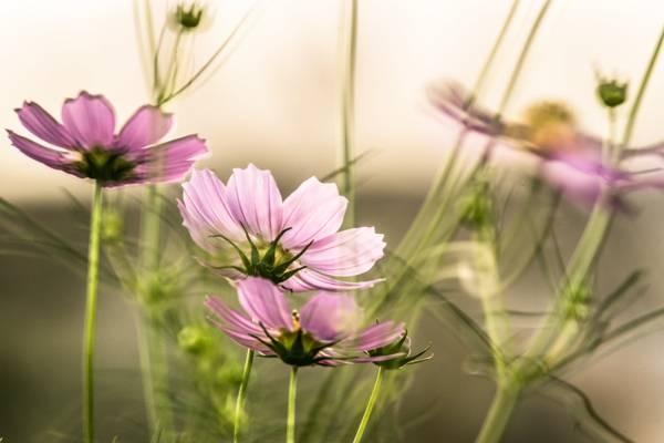 紫色波斯菊花宏观射击在白天HD墙纸期间