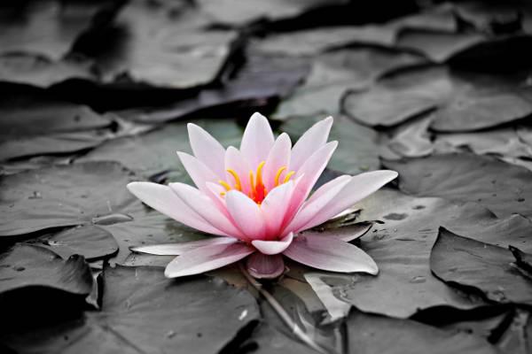 粉红色的水百合花盛开高清壁纸