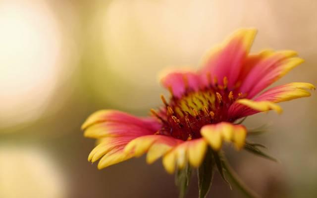 宏,花瓣,花