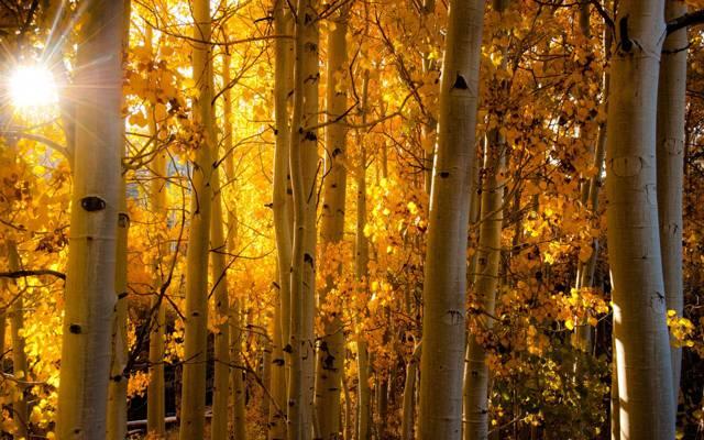 白杨,光线,光,科罗拉多州,白杨,叶子,树干,秋季,森林,美国