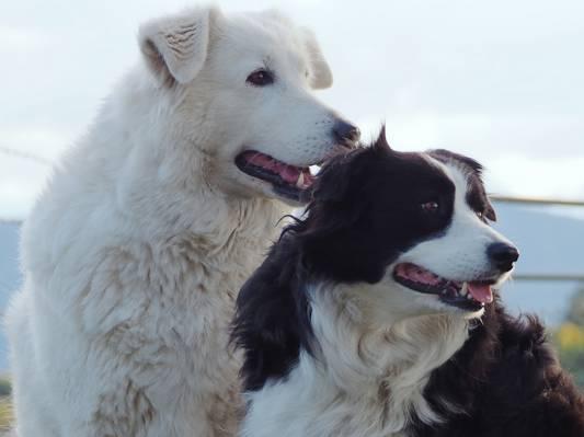 肖像,边境牧羊犬,朋友和同志,狗