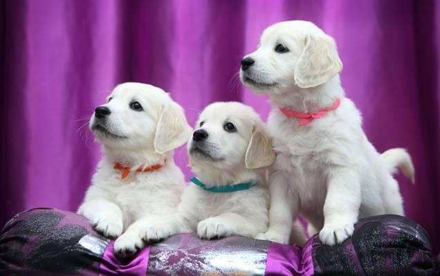 小狗,丝带,拉布拉多,猎犬