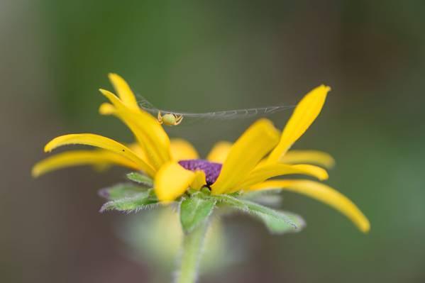 它的网上黄色的花宏观摄影t,araniella高清壁纸大理石圆球韦弗蜘蛛