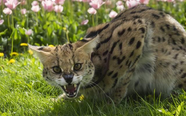 草,夏天,微笑,f牙,nyasha,可怜的小猫,alexbredy,不寻常的颜色,小猫,喵,邪恶,宠物,猫