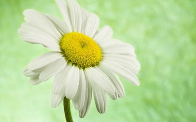 雏菊,花,美丽