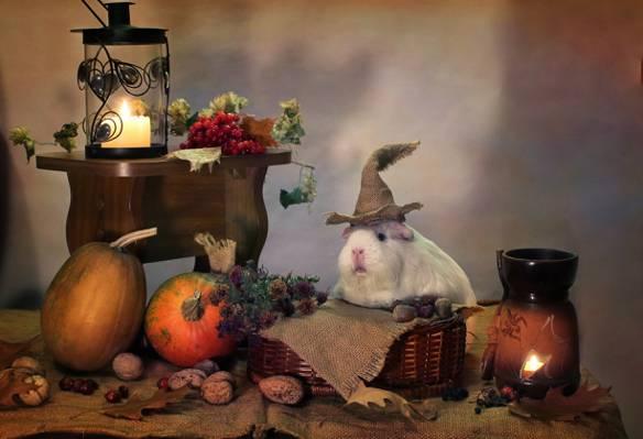 动物,万圣节,几内亚猪,蜡烛,南瓜,组成,10月,幽默,秋季
