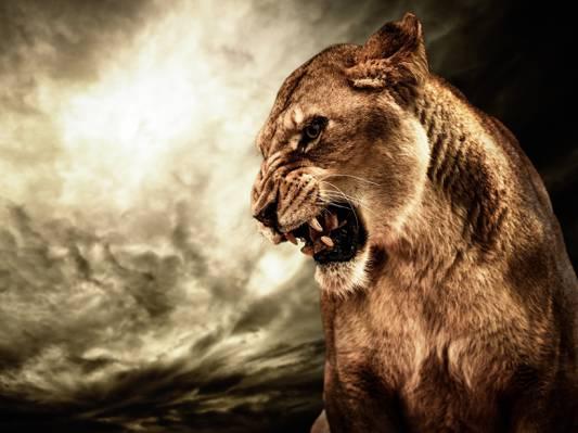 猫,动物,咆哮,愤怒,人类发展报告,母狮