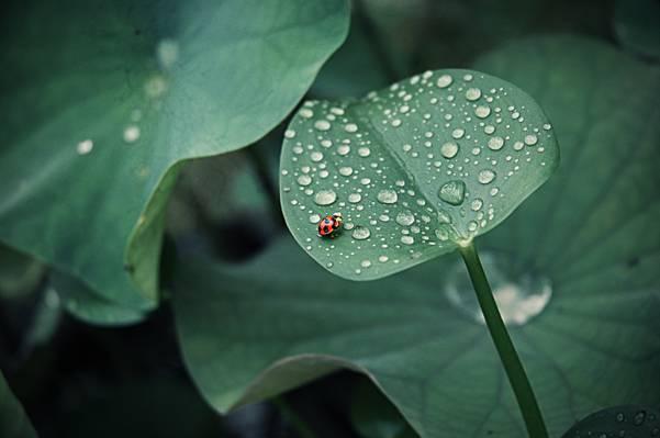 一轮,昆虫,罗莎,瓢虫,滴,叶子