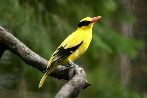 选择性焦点黄色罗宾胡子与粉红色的喙,站在树干上的照片高清壁纸