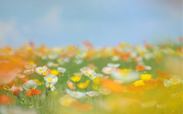 柔情,鲜花,橙,茎,白,林间空地,模糊,真希,田地,黄色,夏天,天空,草