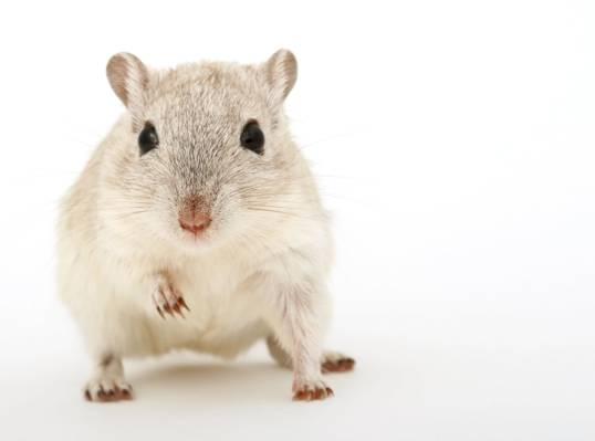 灰色和白色老鼠高清壁纸