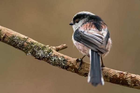 长尾的山雀,分支,鸟,背景