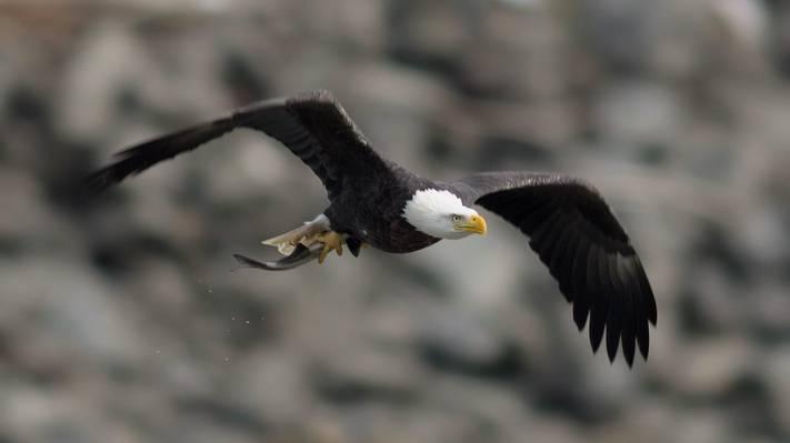 秃鹰,翅膀,飞行,秃头鹰,鸟,中风,鸟