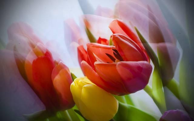 鲜花,花束,郁金香