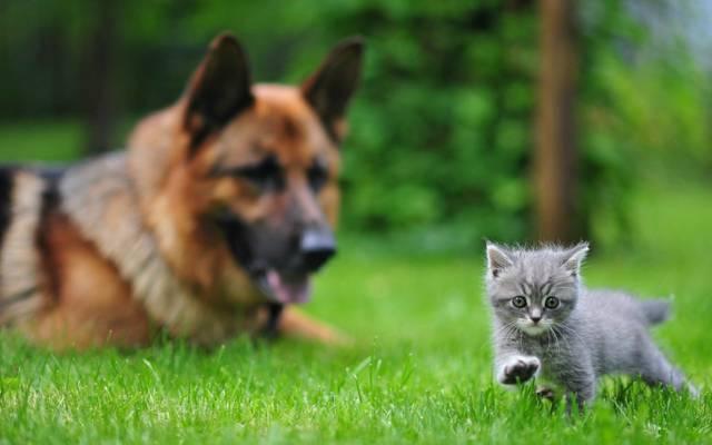 狗,小猫,动物,草,Ovcharka